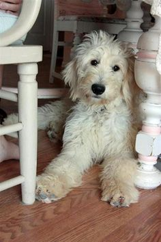 Dog Grooming Goldendoodle Prices