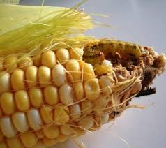 corn with worm